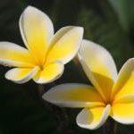 南国の花プルメリア